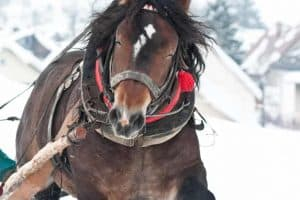 heavy horses in the winter