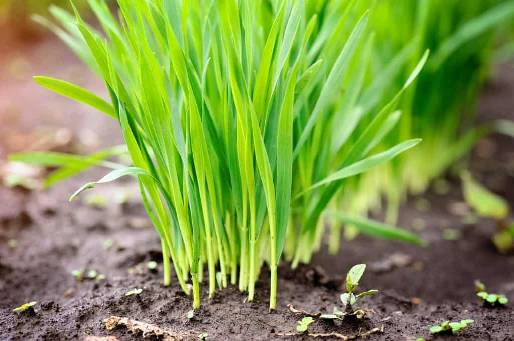 young-wheat-self-sufficient-garden