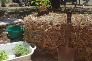 How To Condition a Straw Bale for Gardening - Straw Bale Gardening Guide