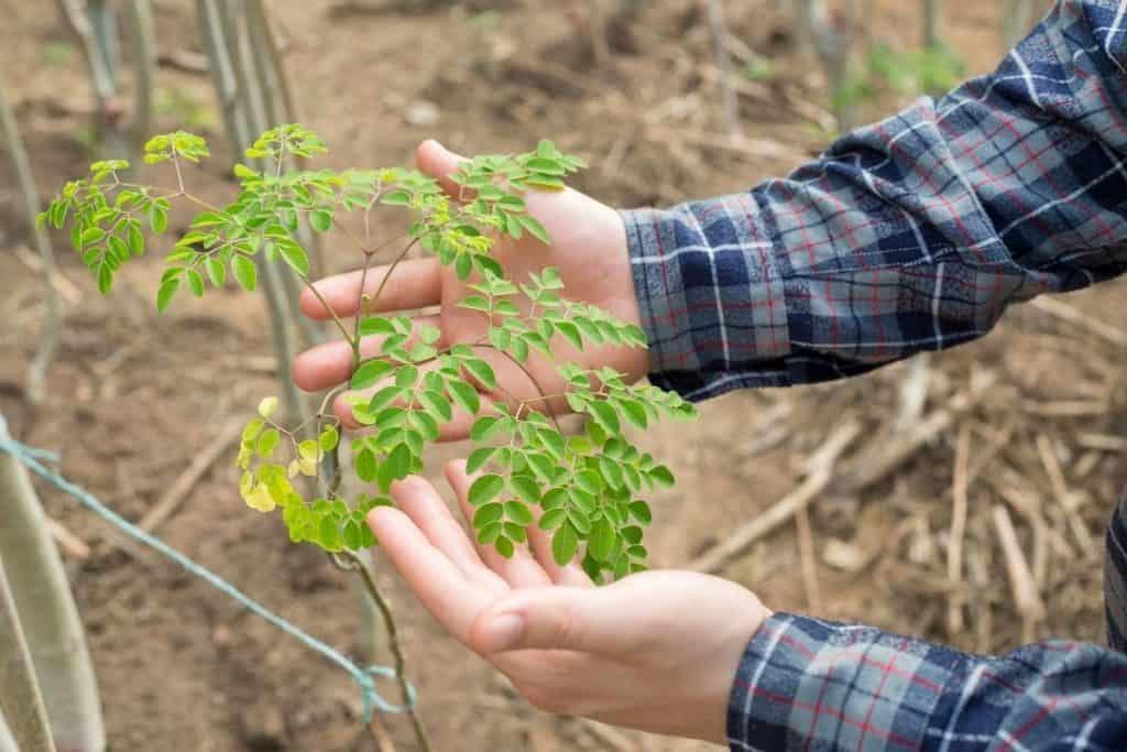 moringa-tree-miracle-how-to-grow