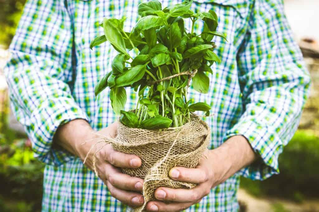 Basil-for-survival-gardens