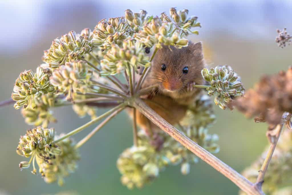 Protecting-Saved-Seed-from-Mice