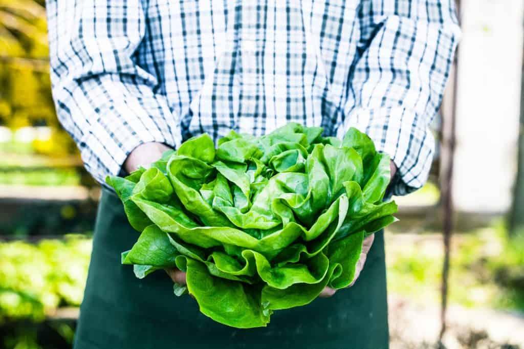 Lettuce-survival-gardens
