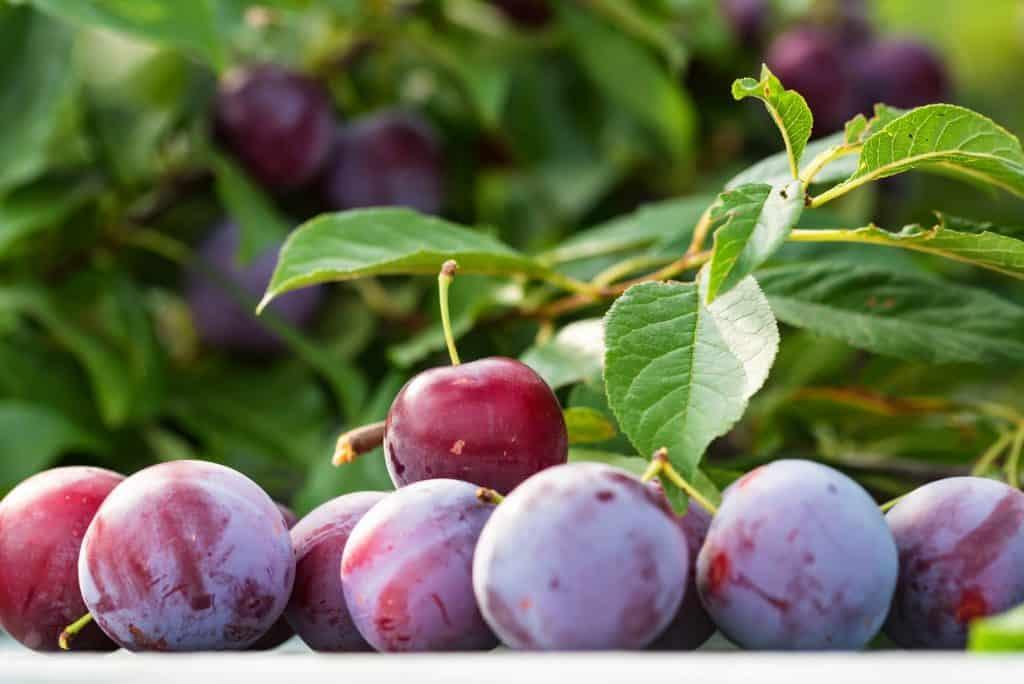 plum-tree-survival-garden