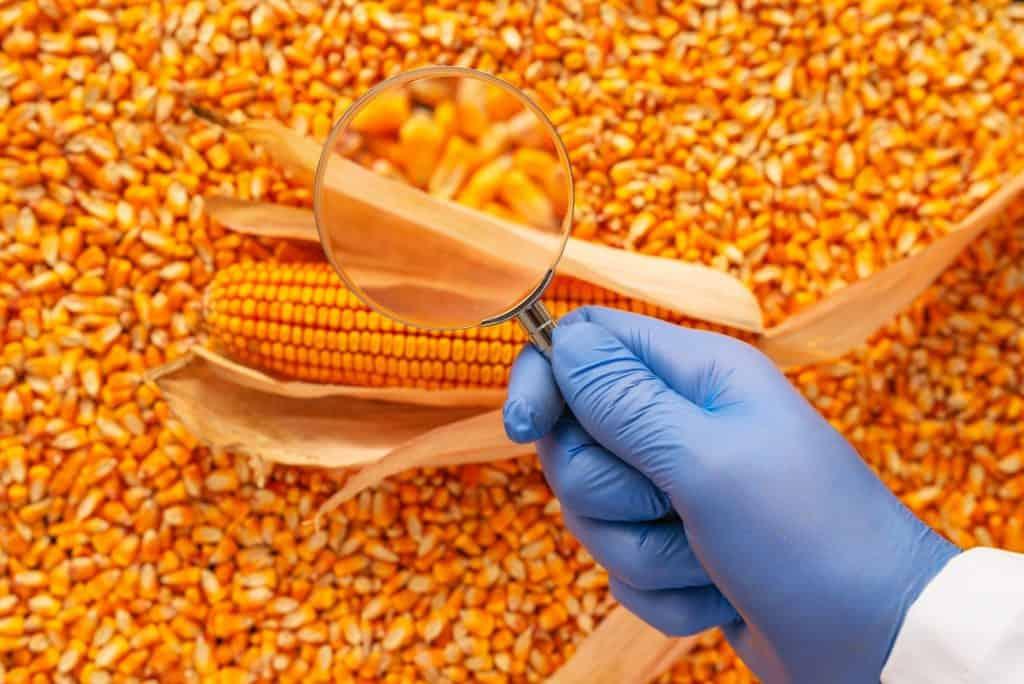 Corn-Seed-Saving