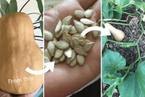 How to Save Pumpkin Seeds for Planting Next Year, From Fruit to Vine