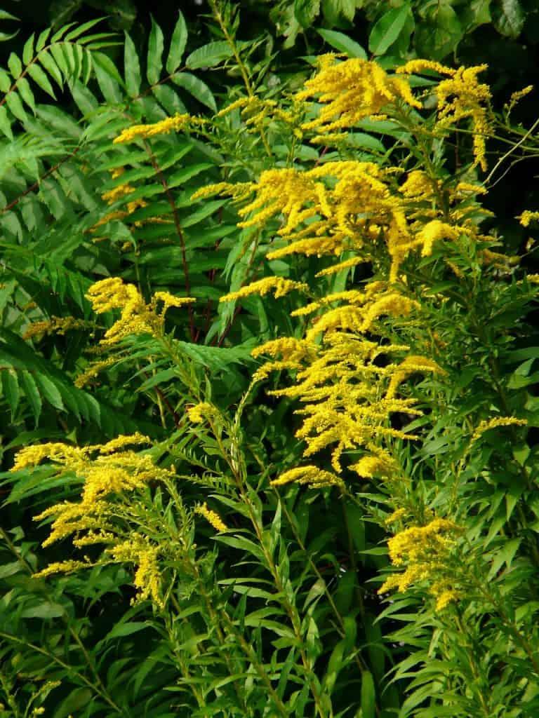 yellow-flowering-herbs-goldenrod-pb