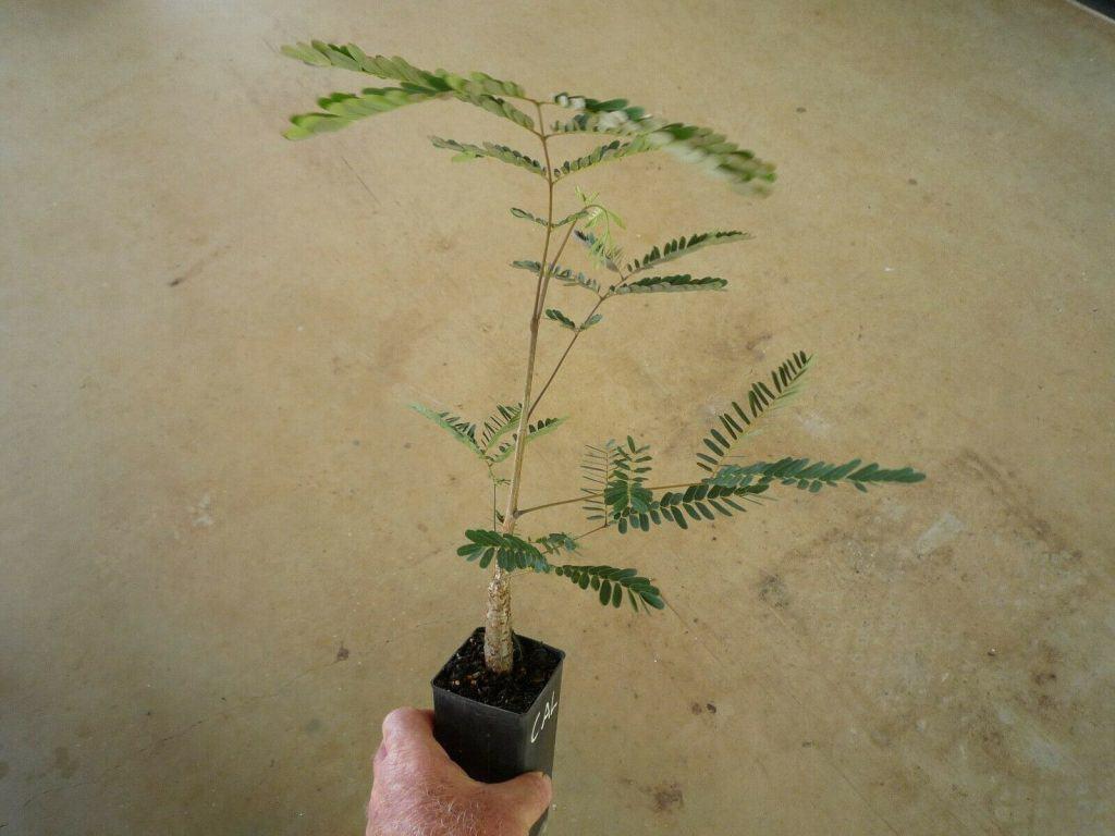 colvillea-racemosa-colvilles-glory-tree-tubestock
