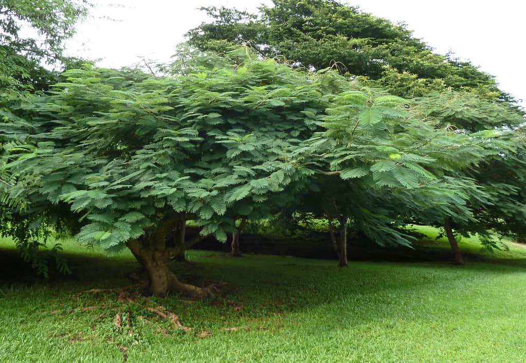 colvilles-glory-tree-colvillea-racemosa