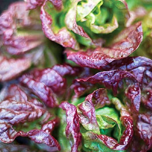 lettuce-marvel-four-seasons-beautiful-vegetable-garden