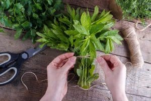 How to Harvest Mint Leaves for Tea and Many Other Things