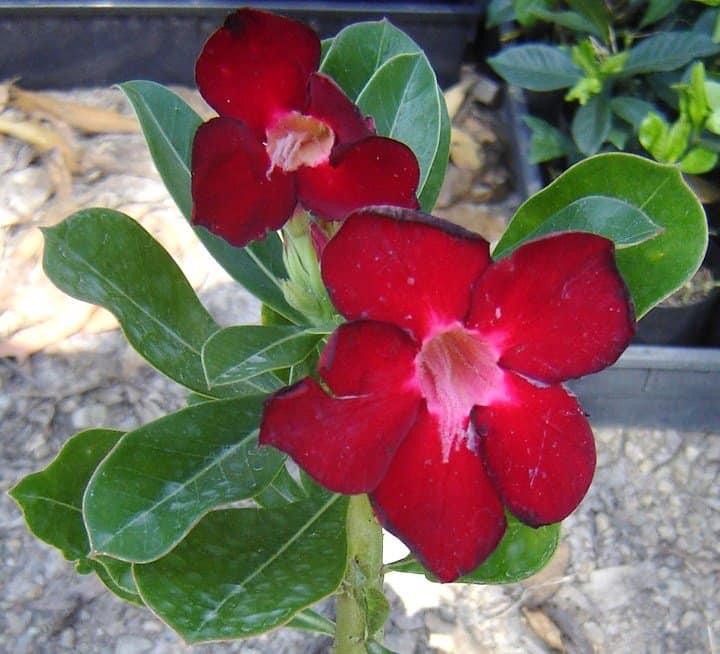 adenium-desert-rose-flowering-succulent