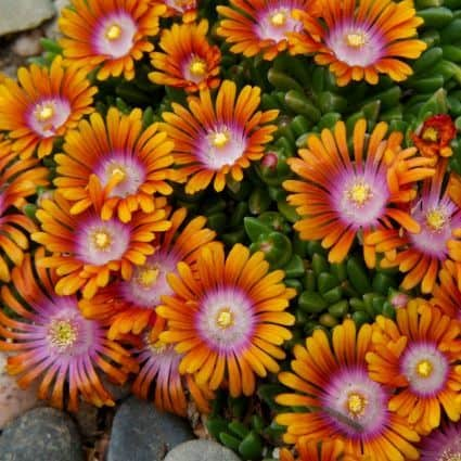 fire-spinner-ice-plant-flowers-425x425