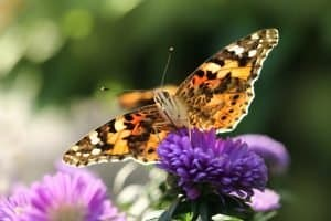 Attracting Butterflies to Your Garden - The Why and How
