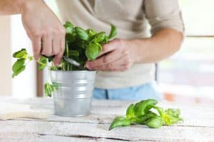 How to Harvest Basil (and Keep Your Plant Growing)