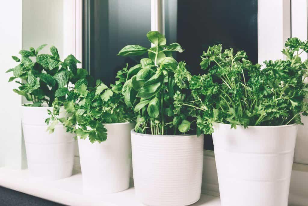 herb-companion-plants-sweet-potato