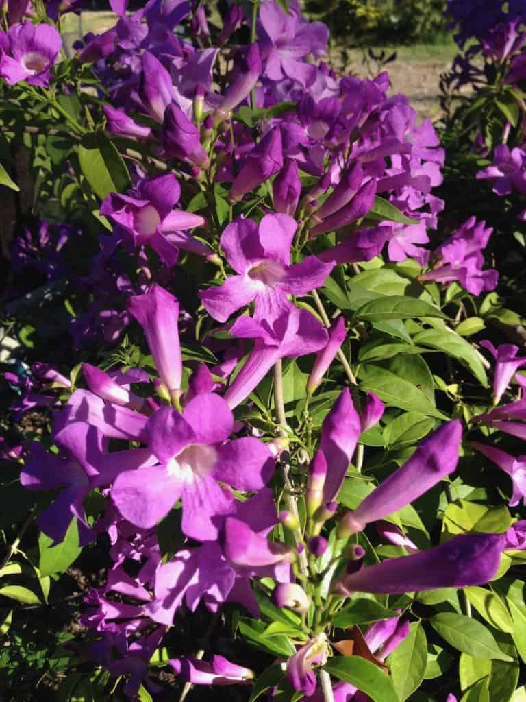 mansoa-allicea-garlic-vine-flowers