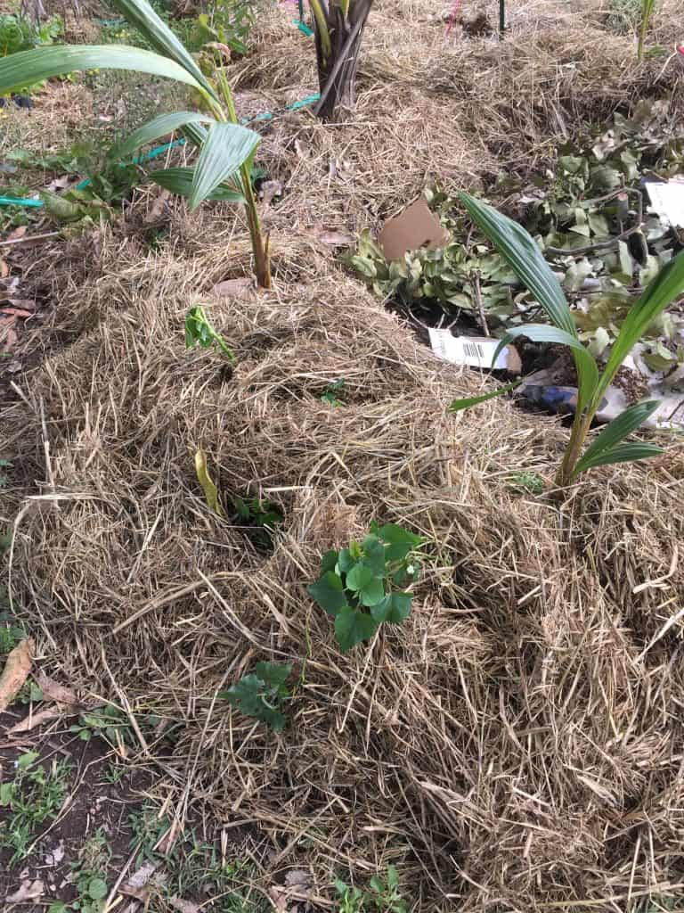 sweet-potato-vine-permaculture-circle