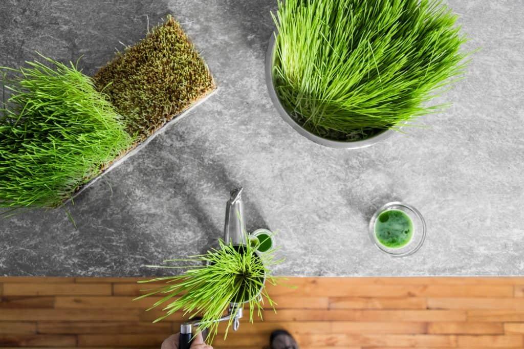 best-wheatgrass-seeds-growing-kit