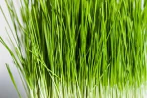 The Best Wheatgrass Seeds - How to Spot Them