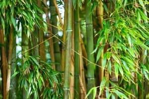 Bamboo Farming for Homestead Income (Start a Bamboo Farm!)
