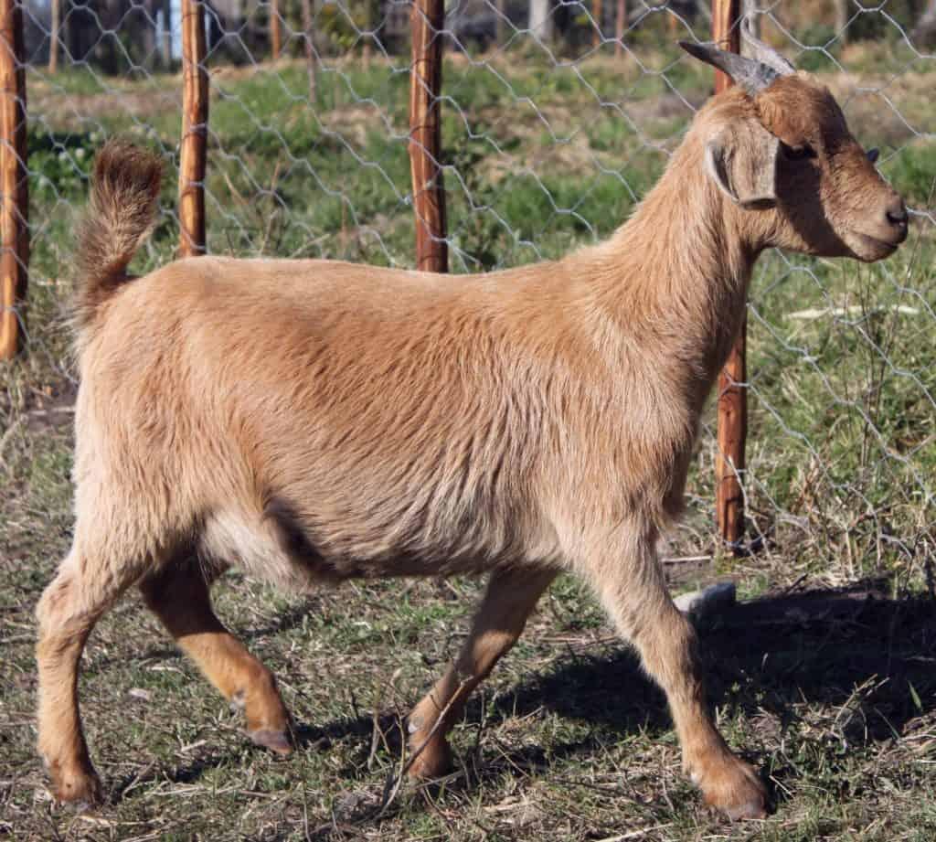 goat-pregnant-Pleiades