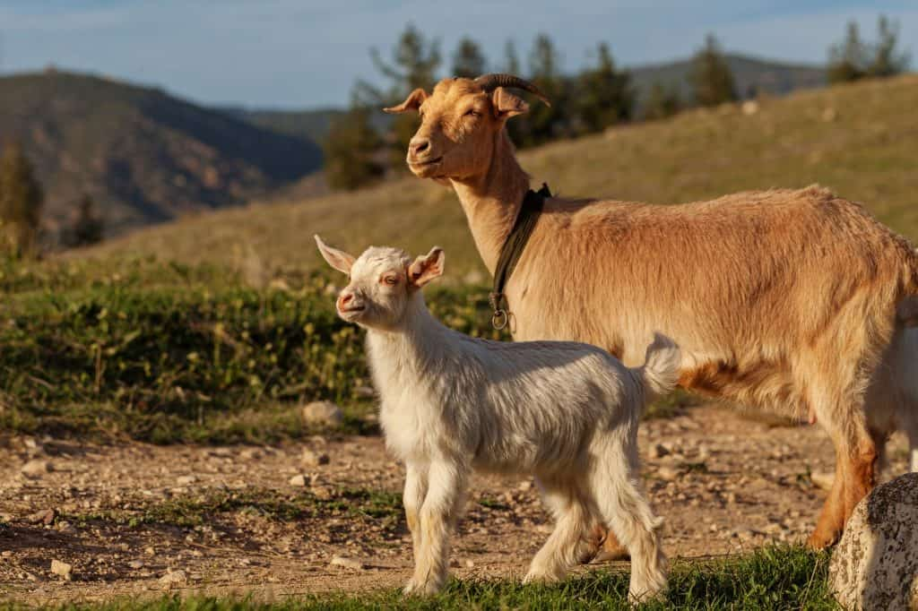 is-my-goat-pregnant