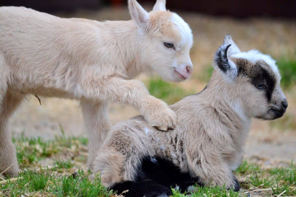 how-long-is-goat-pregnant