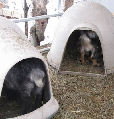 alaskan-goat-igloos