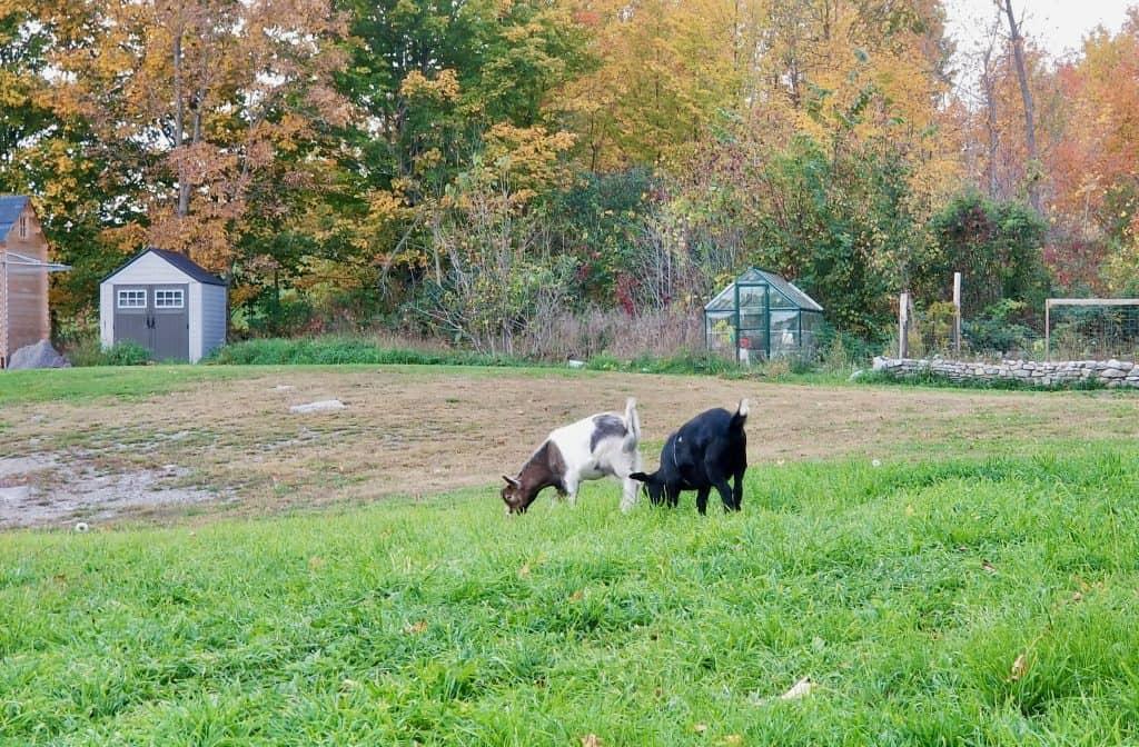 Free-range-goats