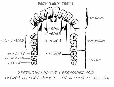 Goat-Dentition-Diagram