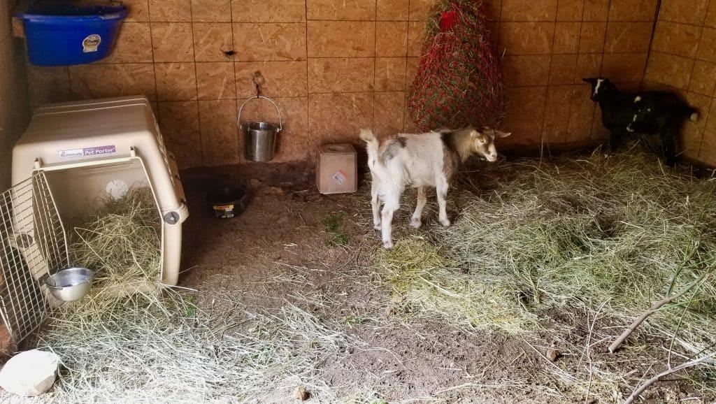 Goat-side-of-barn