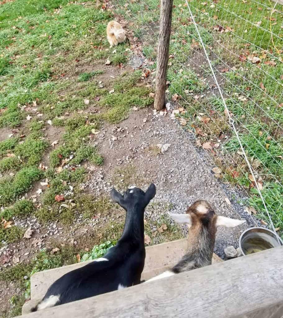 goats-chickens-meet