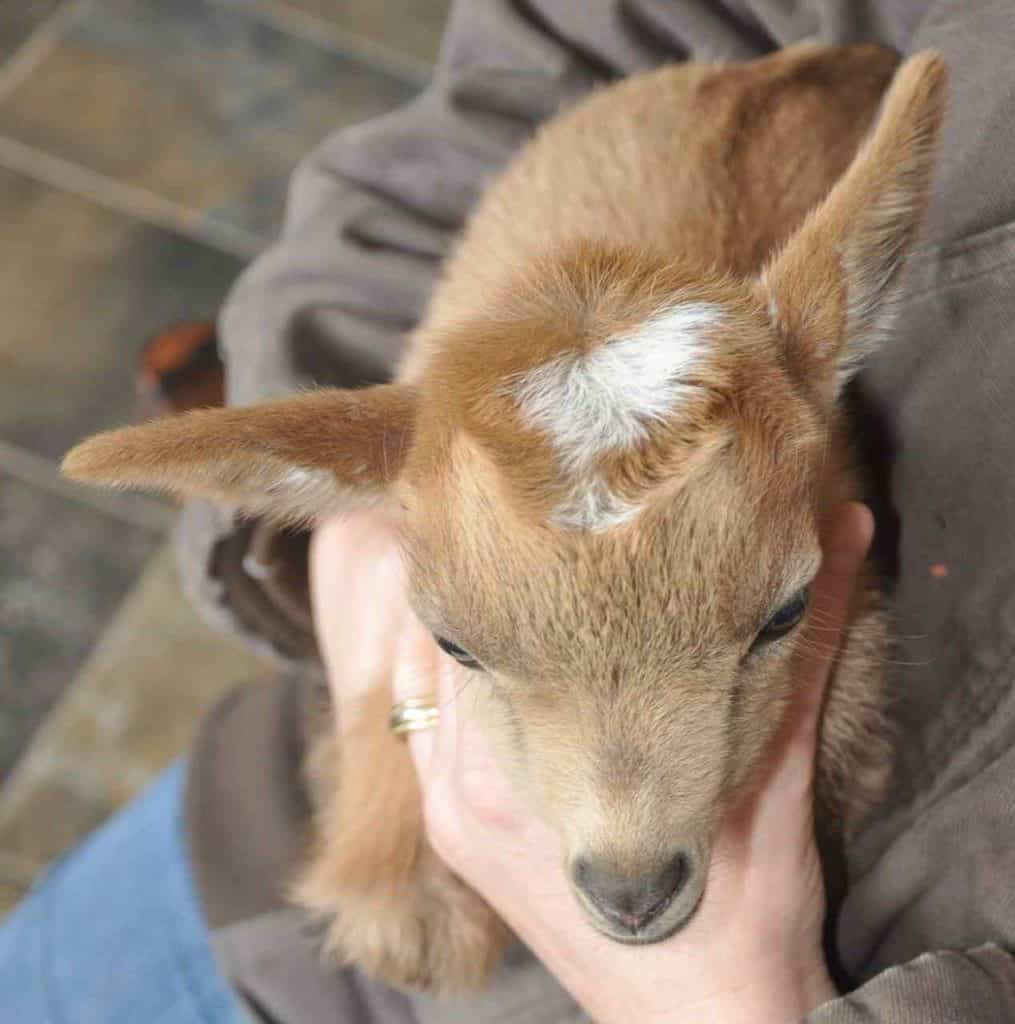 Polled-Goat-Kid-do-all-goats-have-horns