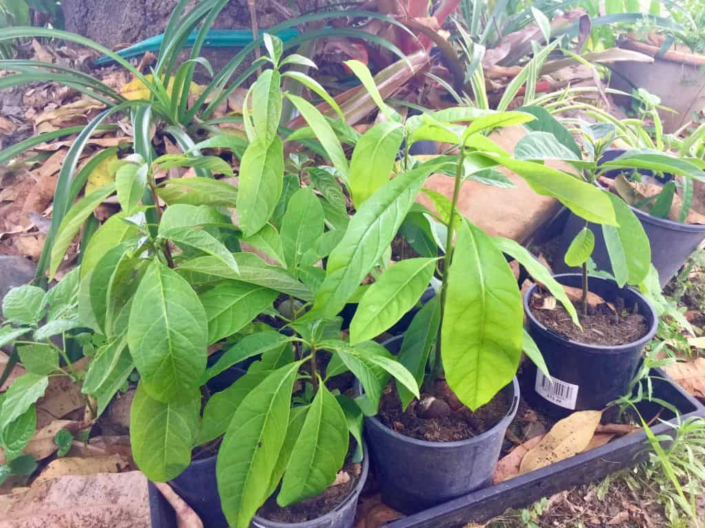 avocado-grown-from-seed