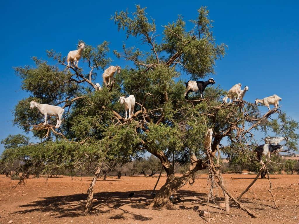 can-goats-climb-trees