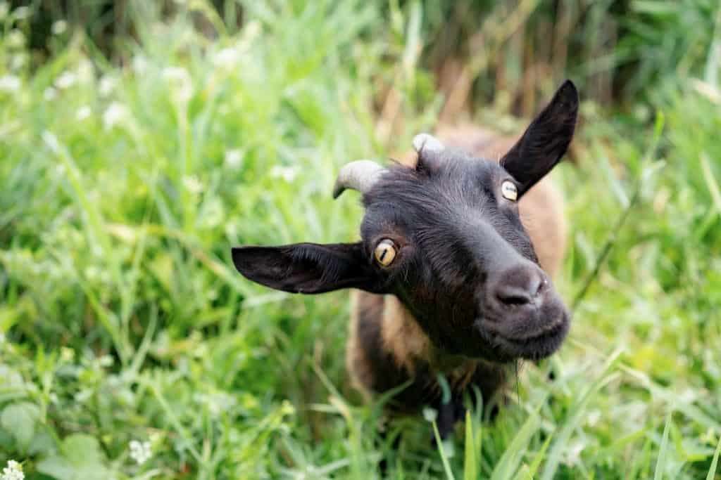 do-you-have-to-trim-goat-hooves