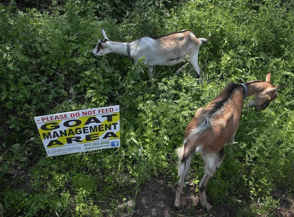 do-goats-eat-poison-ivy