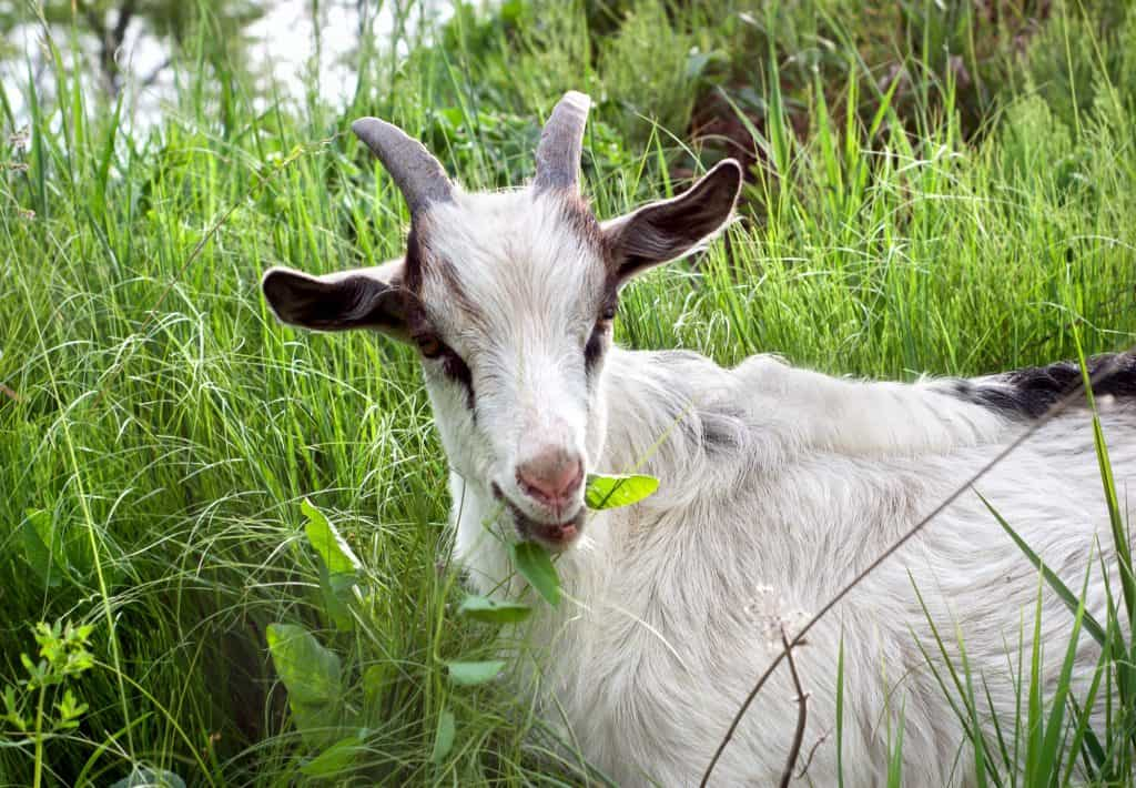 what-is-a-wether-goat