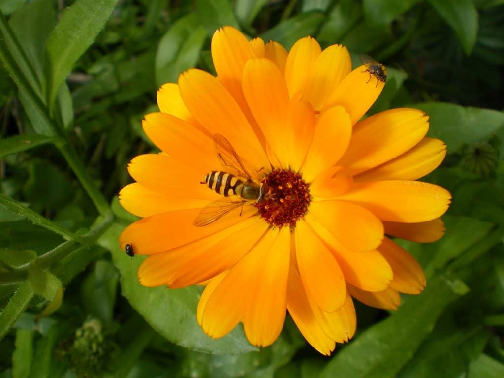 hoverflies-on-calendula