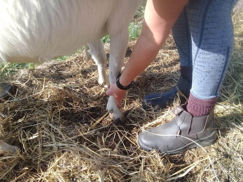 picking-up-goat-hoof