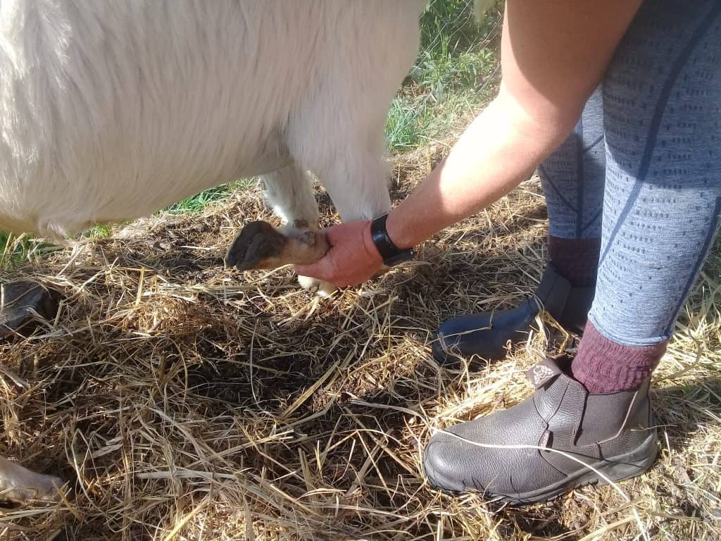 picking-up-goat-hoof-2