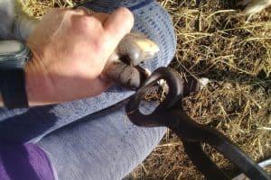 trim-toe-goat-hooves