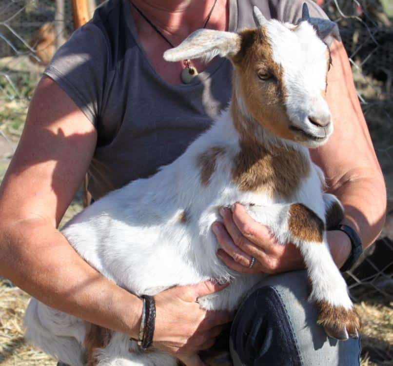 what-is-a-wether-goat-Cuddling-Galaxy-Young-Wether