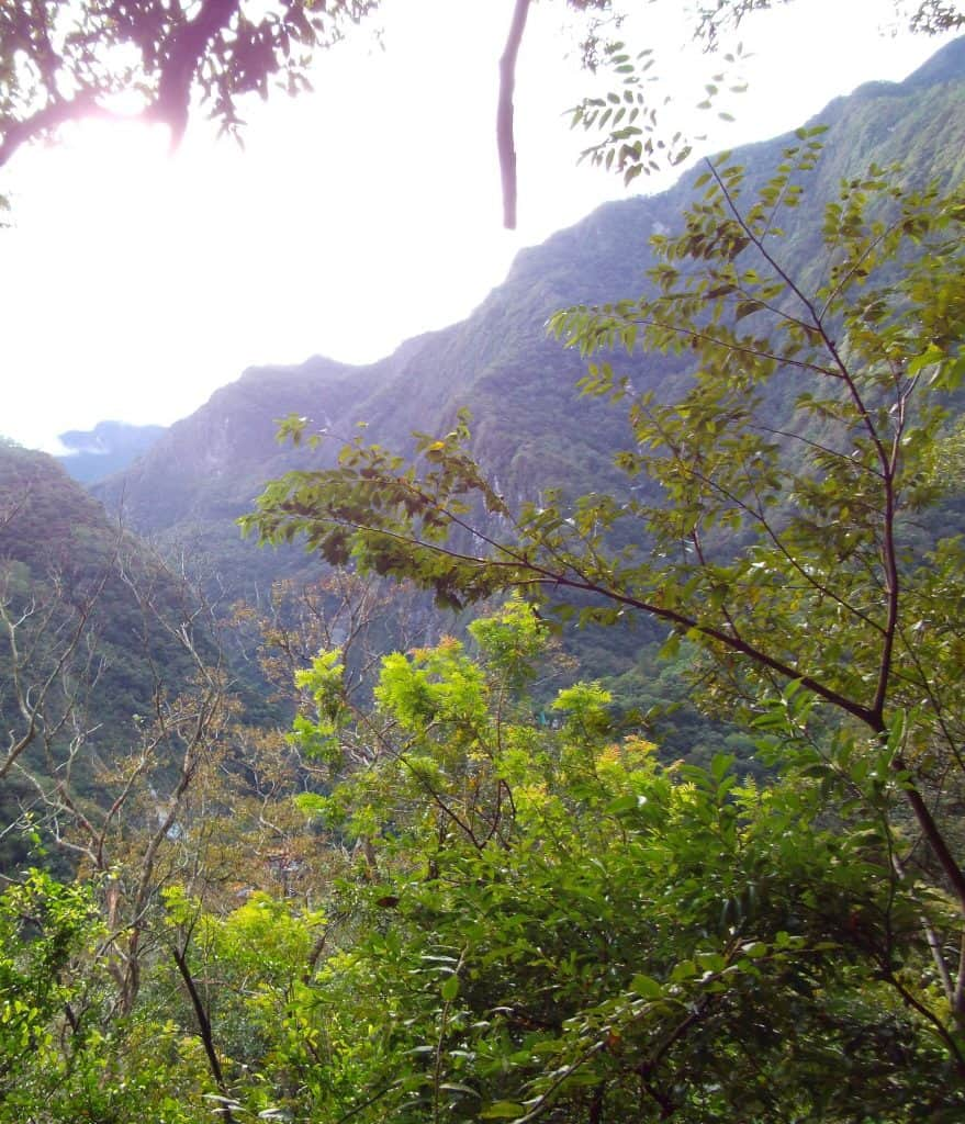 Toona-Sinensis-Taiwan-trees-edible-leaves