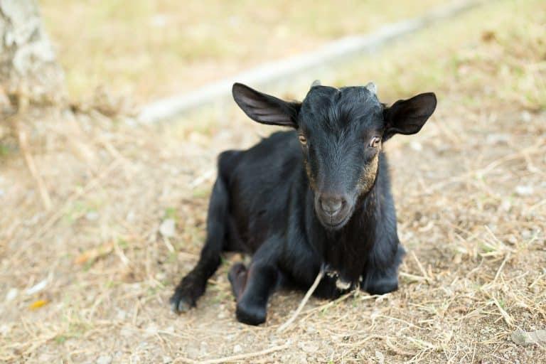 signs-of-hoof-rot-goats-treat-it