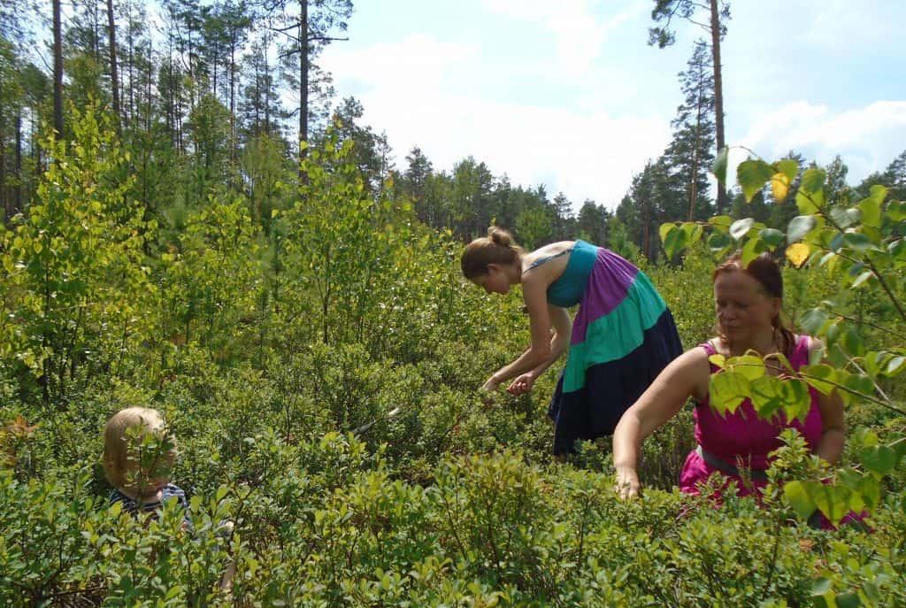 meditative-foraging-Bilberry-gathering