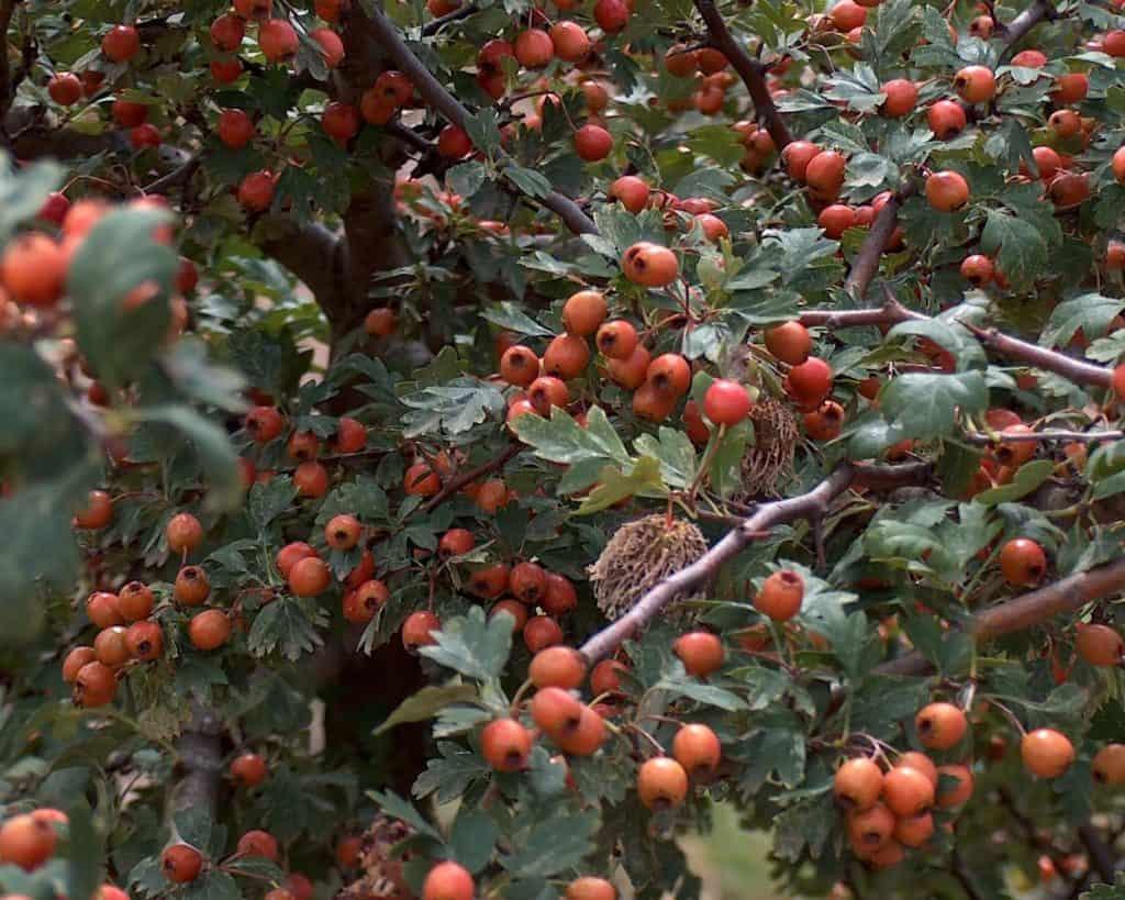 hawthorn-edible-leaves-Crataegus_monogyna_g2