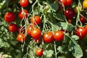 are-tomato-leaves-edible