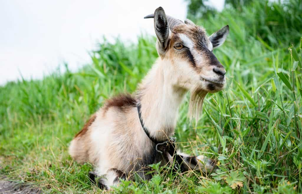 what-causes-hoof-rot-goats